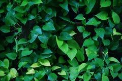 Grünes Laub des Efeus des Teufels, goldener Pothos, die Robe des Jägers, Epipremnum aureum, das Lebenslauf mit dem Kopfe stößt tr lizenzfreie stockfotografie