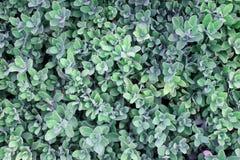 Grünes Laub des Hintergrundes Stockbild