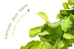 Grünes Laub gegen Weiß Lizenzfreies Stockfoto