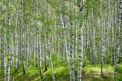 Grünes Laub im Mai stockbild