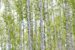 Grünes Laub im Mai lizenzfreie stockfotografie