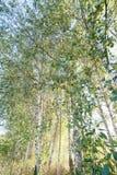 Grünes Laub im Mai Lizenzfreies Stockfoto