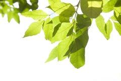 Grünes Laub mit Wassertropfen Lizenzfreies Stockbild