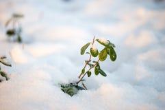 Grünes Leben im Schnee lizenzfreie stockfotos