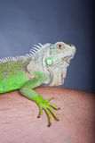 Grünes Leguan-Portrait Lizenzfreies Stockfoto