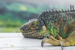 Grünes Leguanprofildetail mit grünem Hintergrund Eidechse ` s Kopfgroßaufnahme Kleines wildes Tier sieht wie ein Drache aus Lizenzfreies Stockbild
