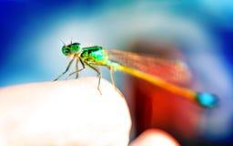 Grünes Libellenmakro, das auf dem Tipp eines Fingers sitzt stockbilder