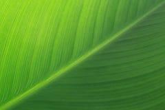 Grünes Lilien-Blatt Stockfotos