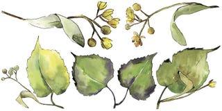 Grünes Lindenblatt Blumenlaub des Blattbetriebsbotanischen Gartens Lokalisiertes Illustrationselement lizenzfreie abbildung