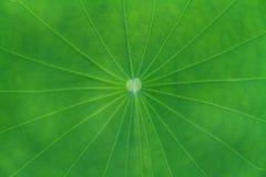 Grünes Lotosblatt Stockbild