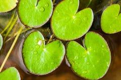 Grünes Lotosblatt, das auf Wasser in einem Topf schwimmt Stockfotos