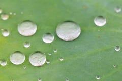 Grünes Lotosblatt mit Wassertropfen als Hintergrund Lizenzfreies Stockbild