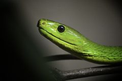 Grünes Mamba lizenzfreies stockfoto