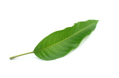 Grünes Mangoblatt lokalisiert auf weißem Hintergrund Stockbild