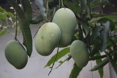 Grünes mangoes-/আ ম mit Blatt Lizenzfreies Stockfoto
