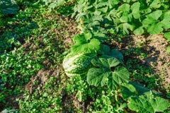 Grünes Mark, das im Garten wächst Lizenzfreie Stockfotografie