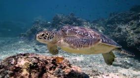 Grünes Meeresschildkrötefliegen im Wasser stock video footage