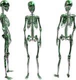 Grünes metallisches weibliches Skelett Stockbilder
