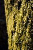 Grünes Moos Lizenzfreie Stockbilder