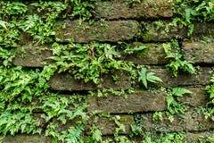 Grünes Moos auf alter Backsteinmauer Lizenzfreie Stockfotos