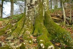 Grünes Moos auf Baumkabel Stockfotografie