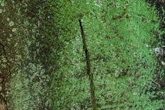 Grünes Moos auf dem Baum, alte Grey Bark Tree-Beschaffenheit Lizenzfreies Stockbild