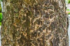 Grünes Moos auf dem Baum, alte Grey Bark Tree-Beschaffenheit Lizenzfreie Stockfotografie