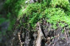 Grünes Moos auf einem alten toten Baum im Wald Lizenzfreie Stockfotografie