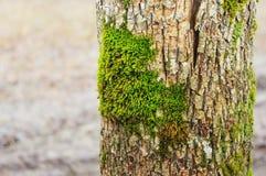 Grünes Moos auf einem Baumkabel Stockfotografie