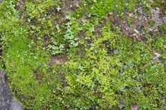 Grünes Moos auf Felsen lizenzfreies stockbild