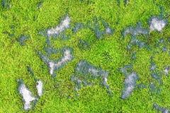 Grünes Moos auf konkretem Beschaffenheitshintergrund lizenzfreie stockbilder