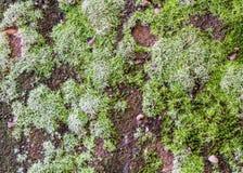 Grünes Moos auf schwarzem Steinwandgebrauch für Hintergrund Stockbild