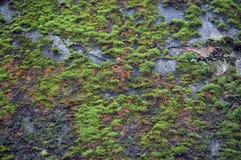 Grünes Moos, das auf alter Wand wächst Stockfotos