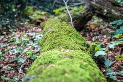 Grünes Moos, das auf einem großen Baumstamm wächst Lizenzfreie Stockbilder