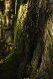 Grünes Moos, das großen Ahornbaumstamm heranwächst stockfoto