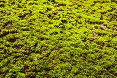Grünes Moos für Hintergrundbeschaffenheit Lizenzfreie Stockfotos