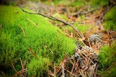 Grünes Moos im Kiefernwald Stockbild