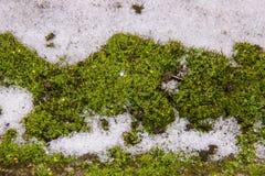 Grünes Moos ist im weißen Schnee, der funkelt Lizenzfreie Stockbilder