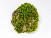 Grünes Moos lokalisiert auf weißer Hintergrundnahaufnahme Stockbilder