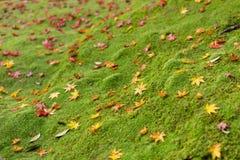 Grünes Moos mit Ahornblatttropfen-Regenwaldboden lizenzfreie stockfotos