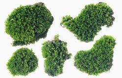 Grünes Moos oben lokalisiert auf weißem Hintergrundabschluß lizenzfreie stockfotos