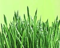 Grünes nasses Gras. Stockfoto