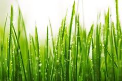 Grünes nasses Gras mit Tau auf Blätter Lizenzfreie Stockfotos