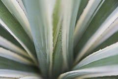 Grünes natürliches abtract des Aloekaktus Lizenzfreie Stockfotos