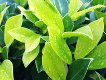 grünes natürliches des Blattes Stockbild