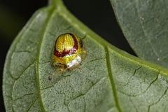 Grünes Neon des Marienkäfers auf Blattabschluß herauf Foto Lizenzfreies Stockfoto