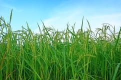 Grünes Ohr des Paddys der Abend in Thailand Lizenzfreies Stockfoto
