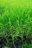 Grünes Ohr des Paddys der Abend in Thailand Stockbild