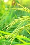 Grünes Ohr des Paddys der Abend in Thailand Stockbilder