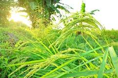 Grünes Ohr des Paddys der Abend in Thailand Stockfotografie